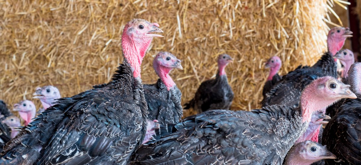 Food Producer review of Chilcott Turkeys