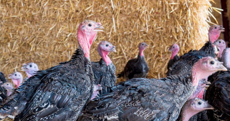 Food Producer review of Chilcott Turkeys