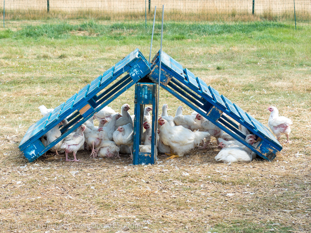 Review of Piddle Valley Chickens